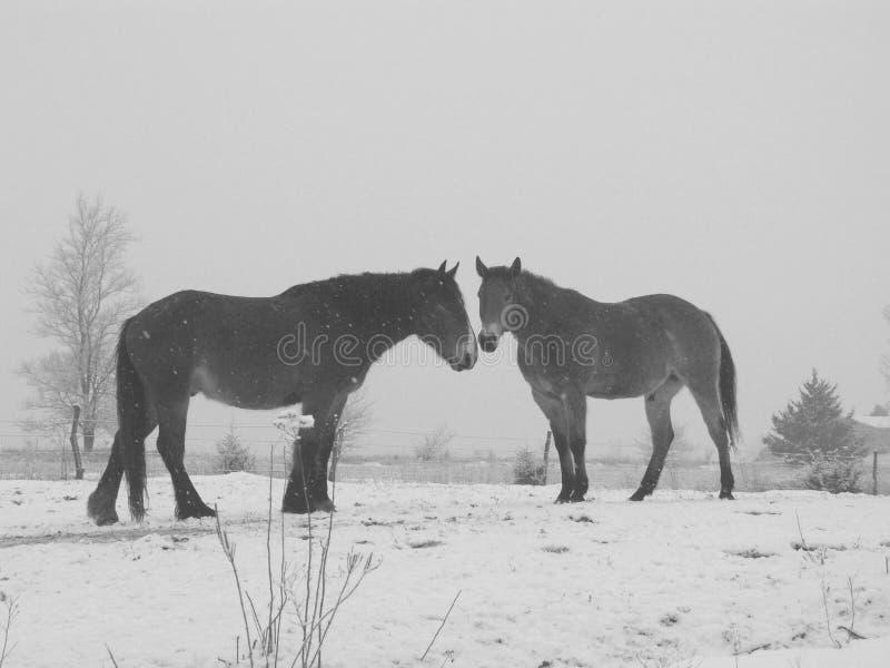 Chevaux noirs et blancs dans la neige photo libre de droits