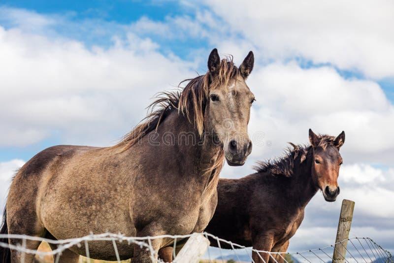 Chevaux près du parc national de Connemara, Co galway Irlande images stock
