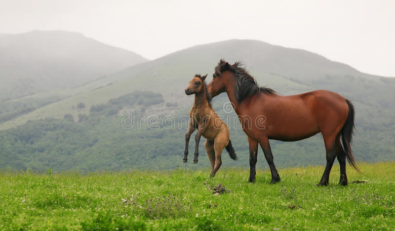 Chevaux sauvages photos stock