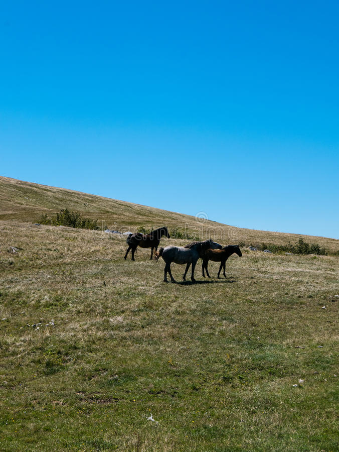Chevaux sauvages image stock