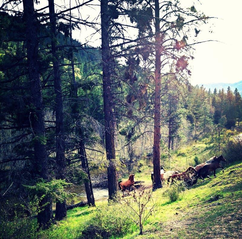 Chevaux sauvages d'Okanogan image libre de droits
