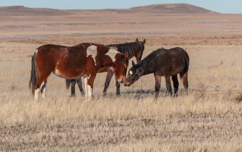 Chevaux sauvages dans le désert de l'Utah photo stock