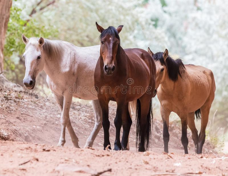 Chevaux sauvages de canyon images stock