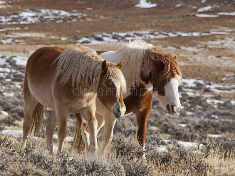 Chevaux sauvages de jument et de colt au Wyoming image stock