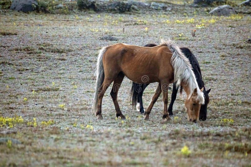 Chevaux sauvages en Equateur photos libres de droits
