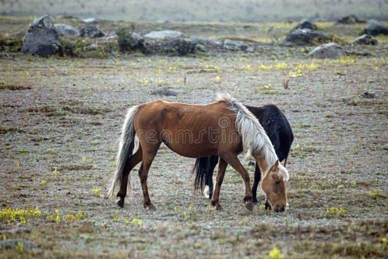 Chevaux sauvages en Equateur images stock