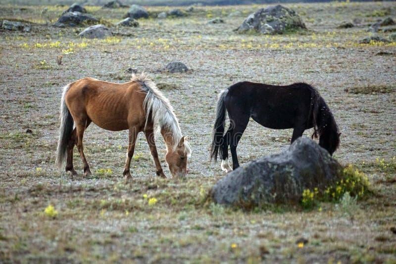 Chevaux sauvages en Equateur photo libre de droits