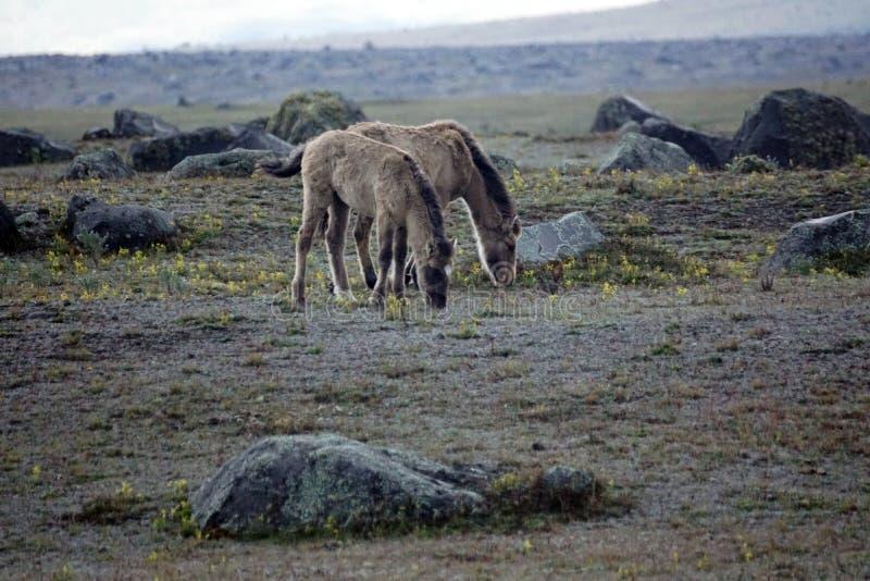 Chevaux sauvages en Equateur photo stock