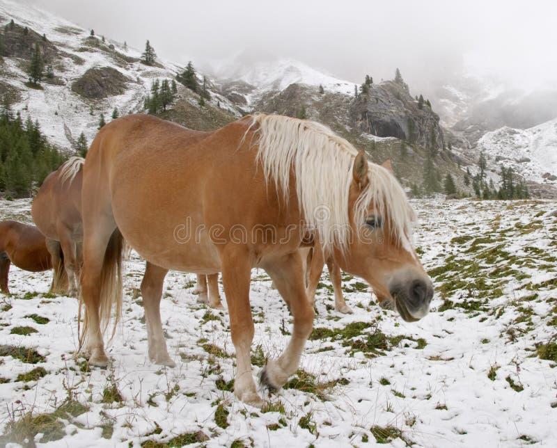 Chevaux sauvages en montagnes de dolomite photo stock