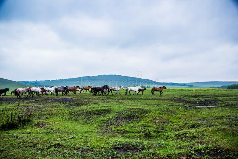 Chevaux sauvages en nature-Chine photo libre de droits