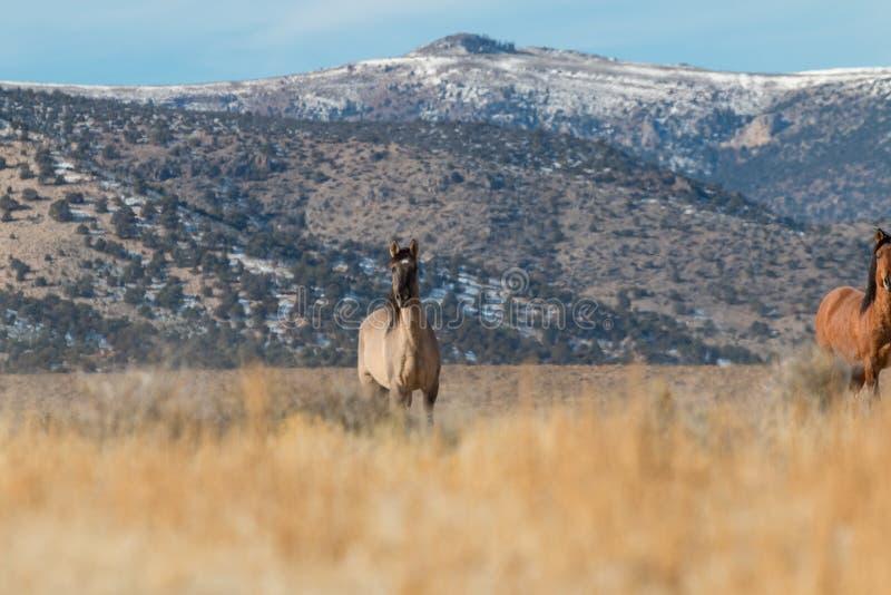Chevaux sauvages en Utah images libres de droits