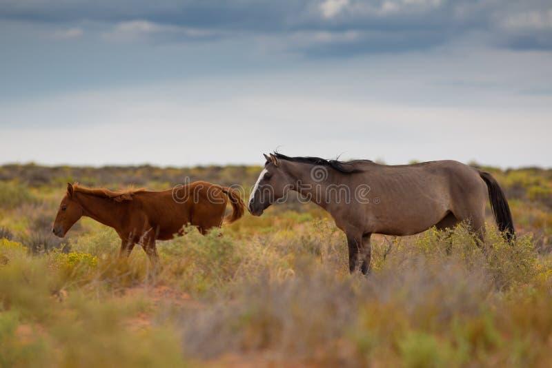 Chevaux sauvages en Utah image libre de droits