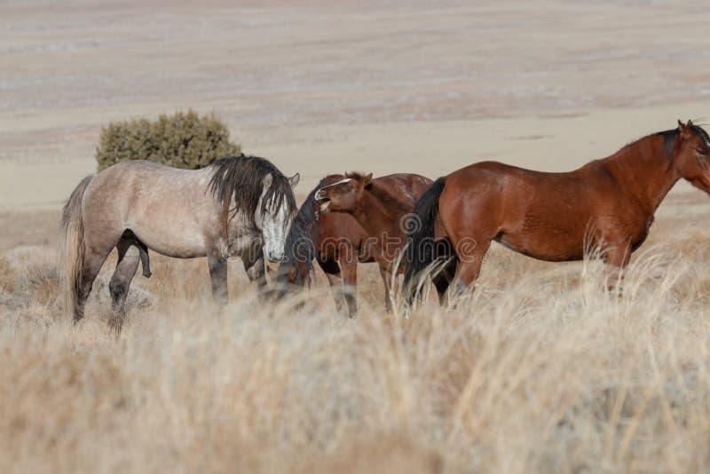 Chevaux sauvages en Utah en hiver images libres de droits