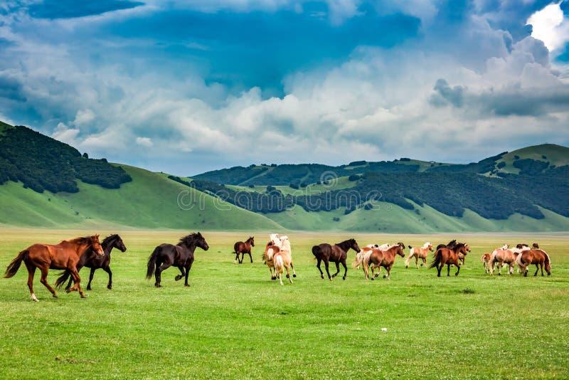 Chevaux sauvages en vallée de Castelluccio, Italie image stock