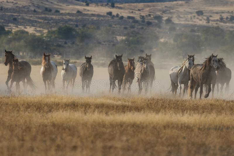 Chevaux sauvages fonctionnant dans le désert de l'Utah image libre de droits
