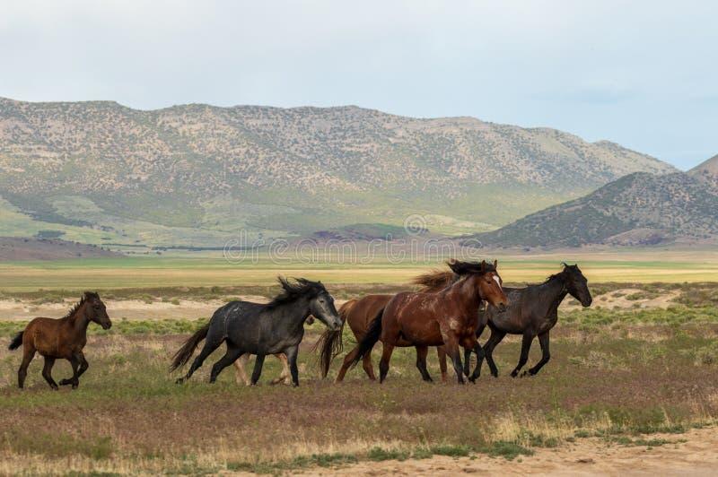 Chevaux sauvages fonctionnant en Utah photographie stock libre de droits