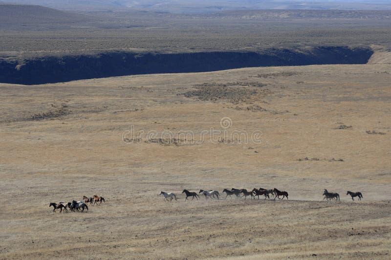 Chevaux sauvages fonctionnant par le sagebrush photographie stock libre de droits