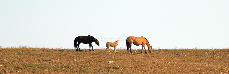 Chevaux sauvages - l'étalon noir de bande serpentant son poulain et la jument chez le cheval sauvage de montagnes de Pryor s'éten photos libres de droits