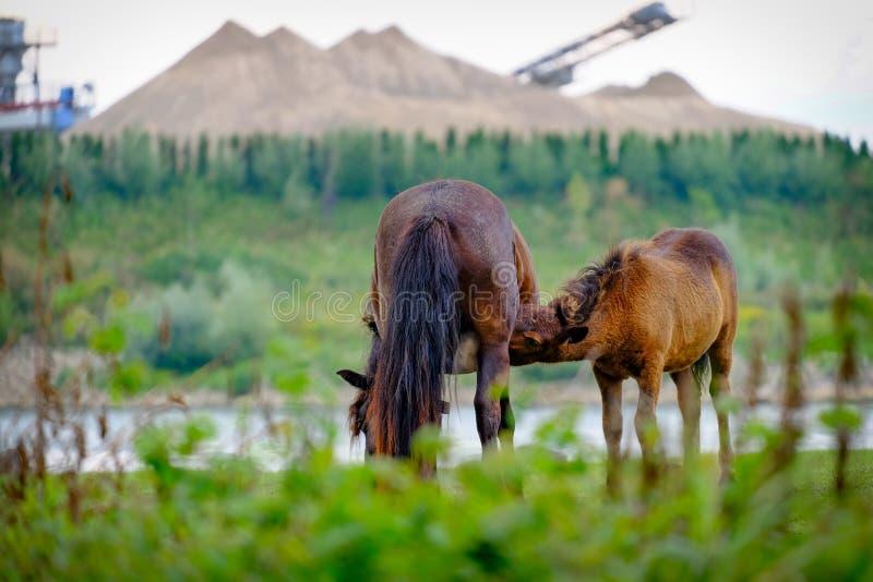 Chevaux sauvages le long de la rivière ; poulain potable de cheval images libres de droits
