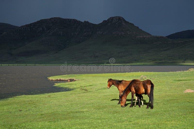 Chevaux sauvages, Lesotho, Afrique australe photographie stock