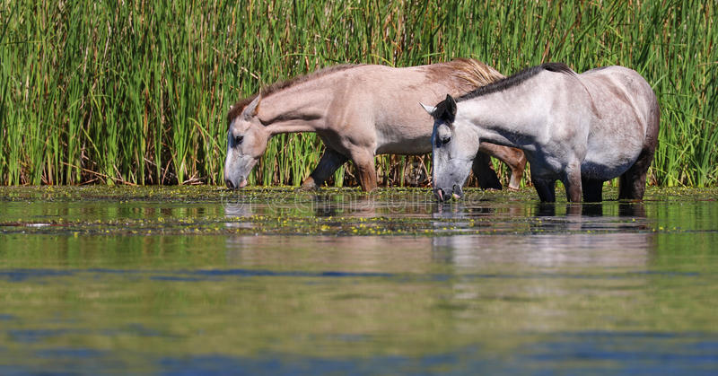 Chevaux sauvages @ Rio Salado et x28 ; La rivière Salt et x29 ; image libre de droits