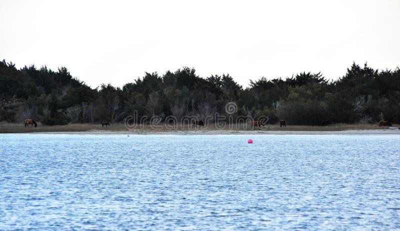 Chevaux sauvages sur l'île de carotte en Beaufort images stock