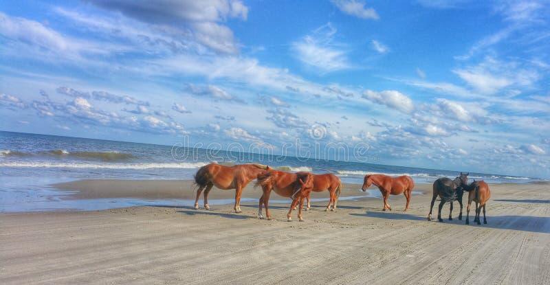 Chevaux sauvages sur la plage images libres de droits