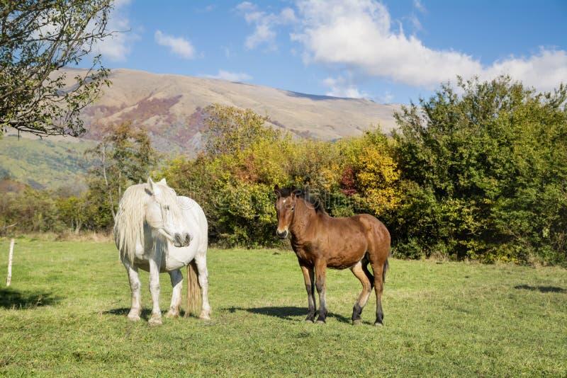 Chevaux sauvages sur un pâturage dans la montagne d'automne photographie stock libre de droits