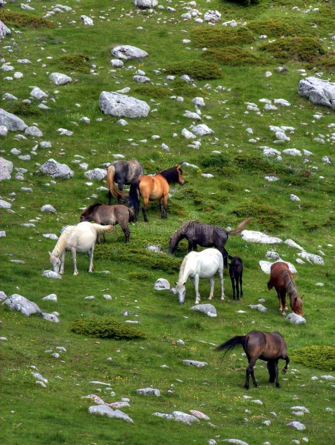 Chevaux sur la montagne. images stock