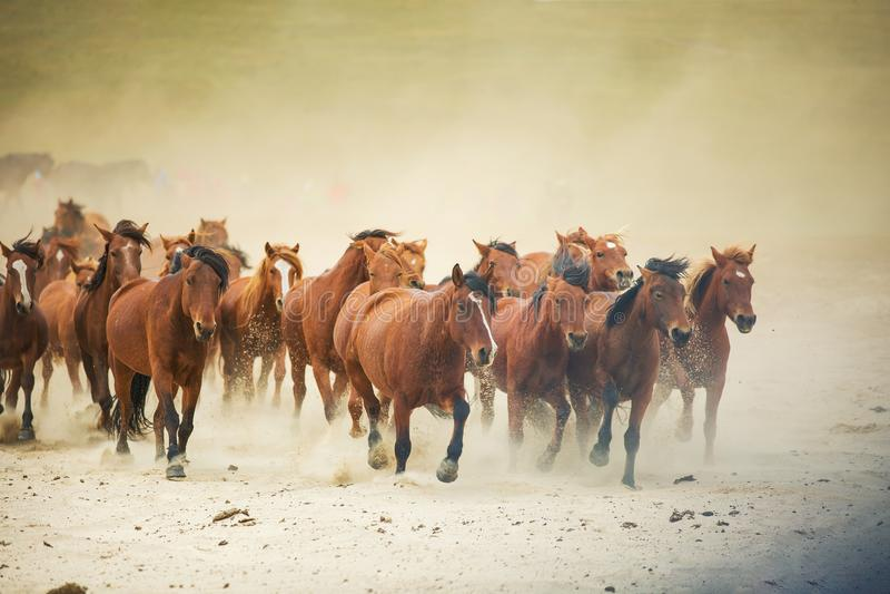 Chevaux sur la prairie de l'Inner Mongolia, Chine photo libre de droits