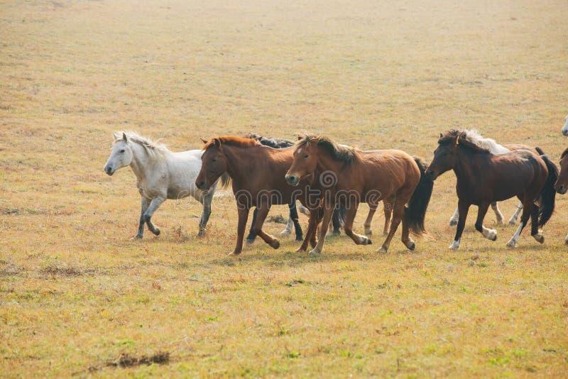 Chevaux sur la prairie de l'Inner Mongolia, Chine photo stock