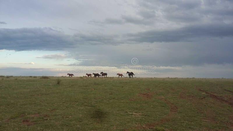Chevaux sur le Llano images libres de droits