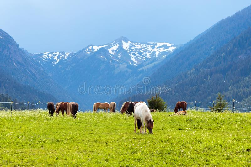 Chevaux sur le pré de fleur en montagnes images libres de droits