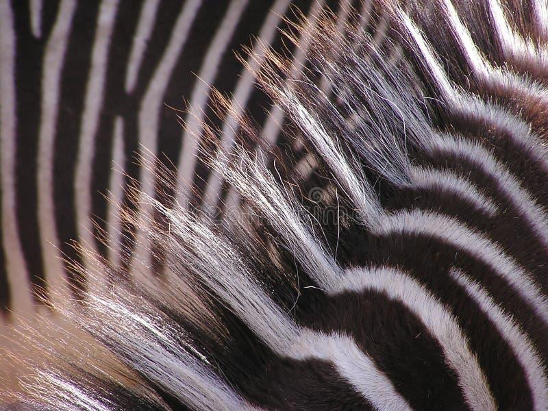 Cheveu de zèbre avec la lumière du soleil photographie stock libre de droits