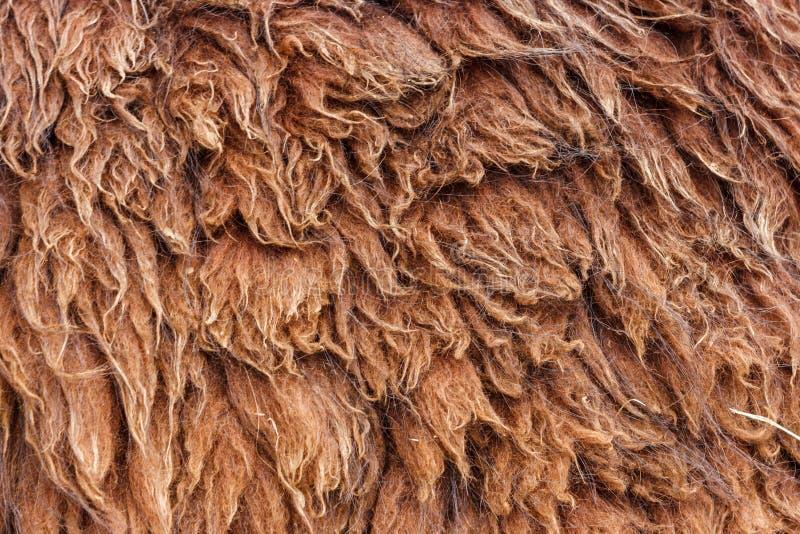 Cheveux de laine de lama dans Machu Picchu, Cuzco, Pérou image libre de droits