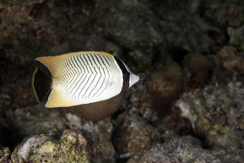 Chevron butterflyfish. Taken in the red sea royalty free stock images