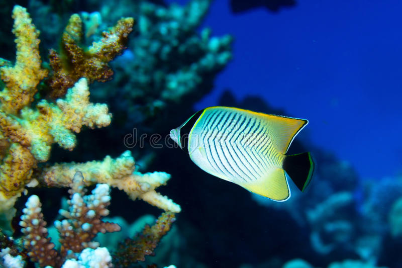 Chevron butterflyfish. (Chaetodon trifascialis) in the Red Sea, Egypt royalty free stock photography