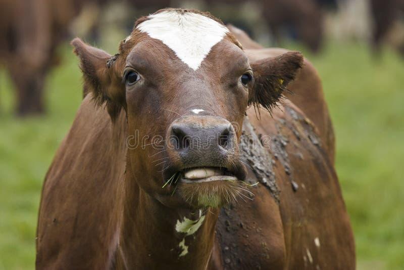 chew krowy obraz stock