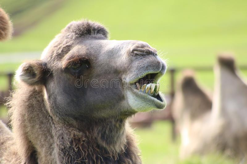 Chewing camel showing teeth royalty free stock images