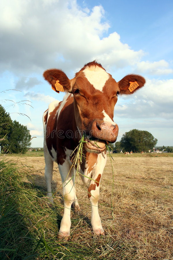 Chewing cow royalty free stock images