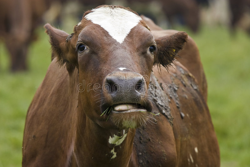 Chewing cow. Brown cow eating / chewing grass stock image