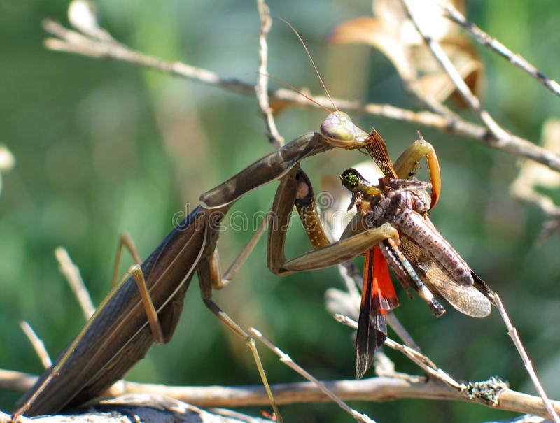 Chewing The Fat. A European Praying Mantis (Mantis religiosa) munching away on a freshly caught grasshopper royalty free stock photo