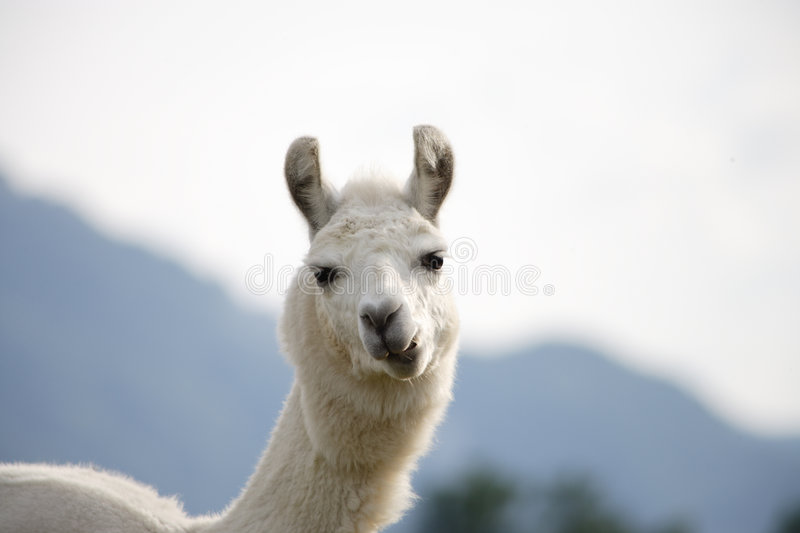 Chewing llama. A white llama chewing and looking curiously in my camera royalty free stock image