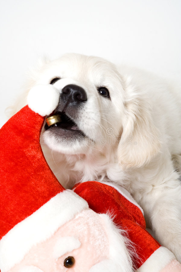 Chewing puppy royalty free stock photography