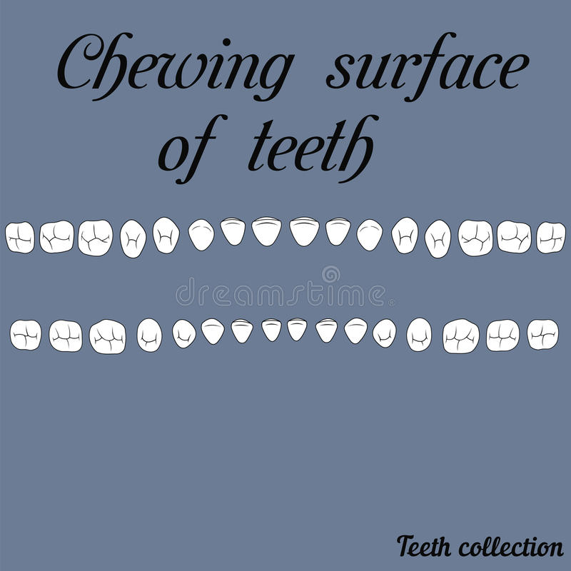 Chewing surface of teeth royalty free illustration