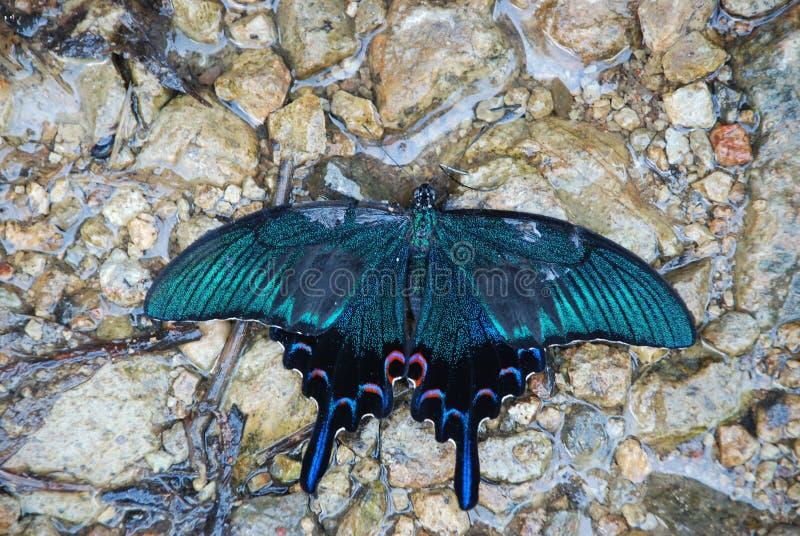 Chiński pawi swallowtail motyl pije od małego wodnego punktu między skałami zdjęcie stock