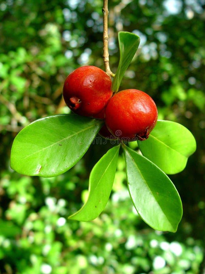 chińscy guavas Mauritius zdjęcie stock