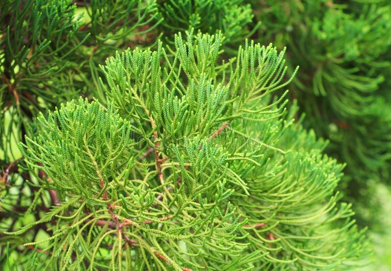 Chiński Arborvitae, liście sosny wybiórka skupia się z płytką głębią pole Naukowa Imię tuja Orientali obrazy stock