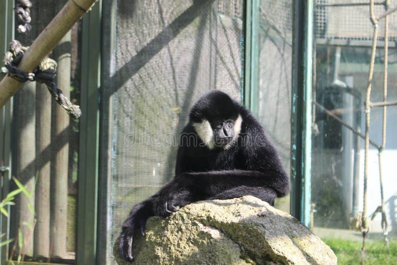 Chiński Biały Gibbon w zoo Liberec zdjęcie royalty free