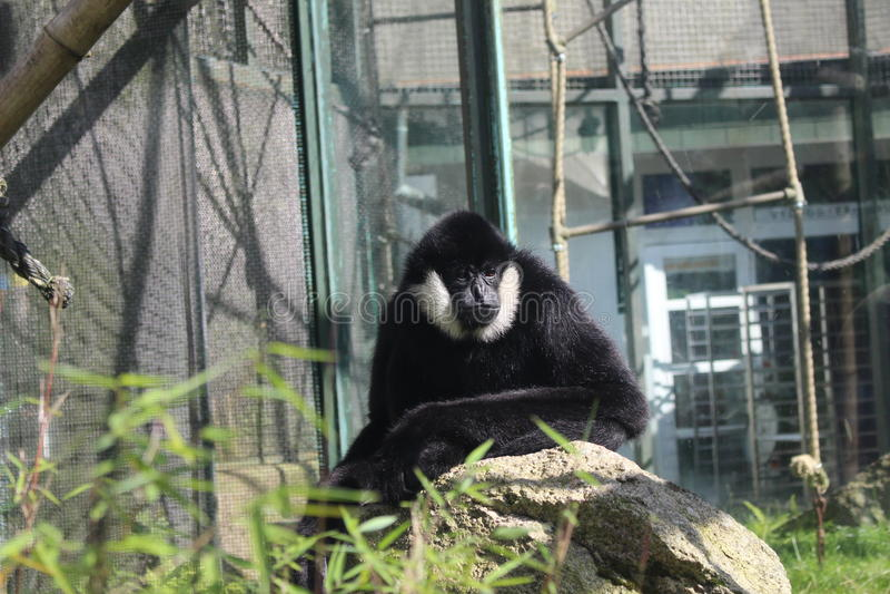 Chiński Biały Gibbon w zoo Liberec zdjęcia royalty free